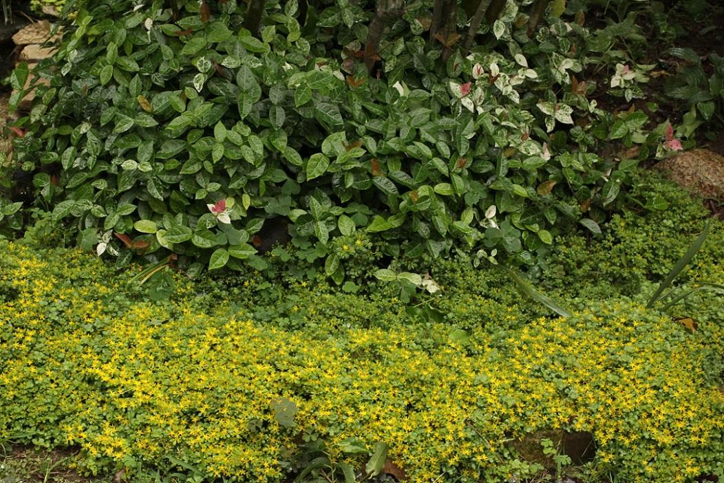 セダムの黄花&                      白アジサイのキモンシロチョウ・カマキリ_a0107574_21232923.jpg