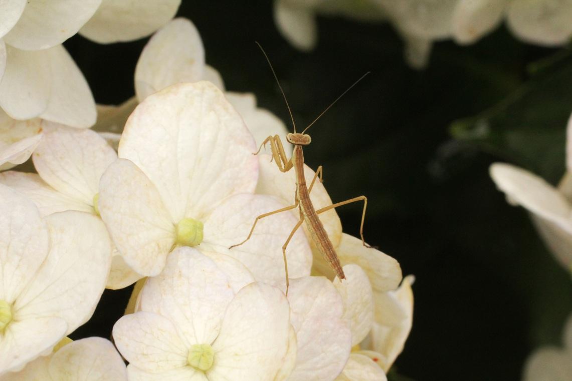 セダムの黄花&                      白アジサイのキモンシロチョウ・カマキリ_a0107574_2151856.jpg