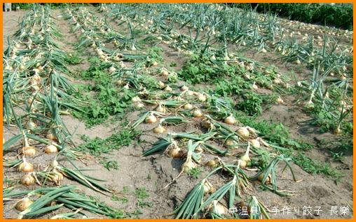 玉ねぎを収穫してまーすの巻_a0041925_995466.jpg
