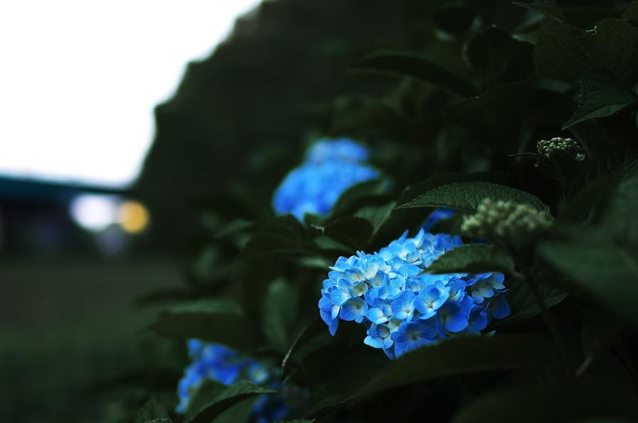Hydrangea 2012 _d0147676_5484297.jpg
