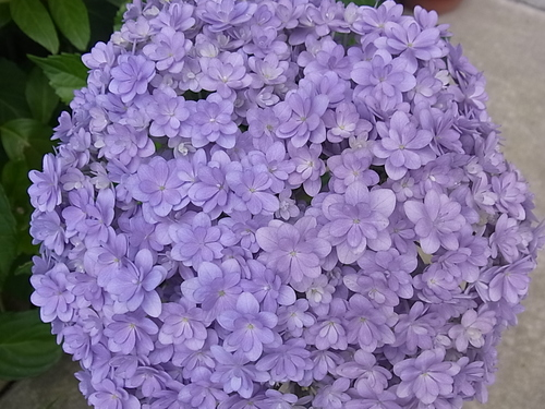 これも紫陽花!_b0105897_1355375.jpg