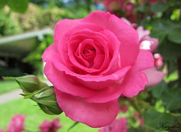 薔薇園_a0086828_4203315.jpg