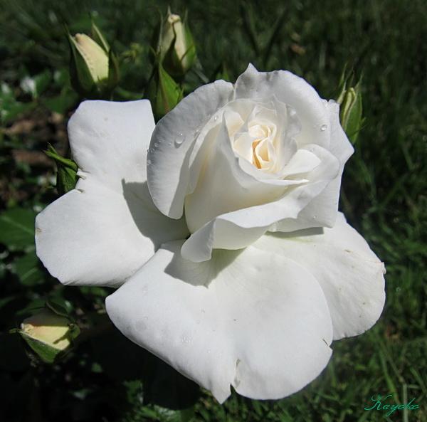 薔薇園_a0086828_4212186.jpg