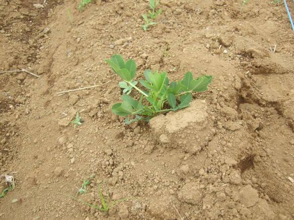 秋に収穫野菜(落花生、里芋)の成長は遅い..._b0137932_11152670.jpg