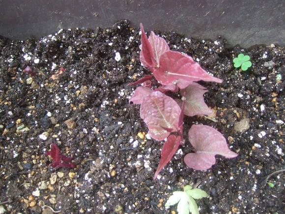 秋に収穫野菜(落花生、里芋)の成長は遅い..._b0137932_11155025.jpg