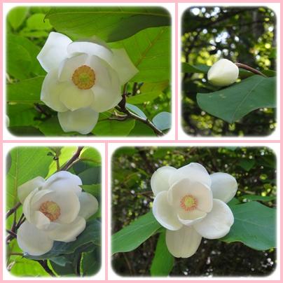 九重森林公園のオオヤマレンゲ_e0164643_1014381.jpg