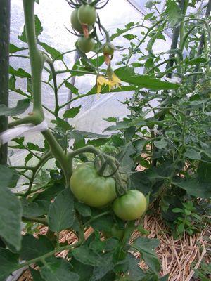 トマトの記録_c0063348_21371720.jpg