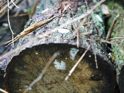 原木しいたけ クヌギの伐採から仮伏せまで_a0254656_14511635.jpg