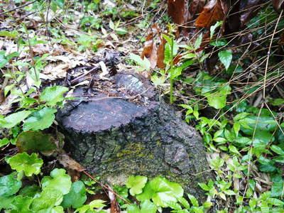 原木しいたけ クヌギの伐採から仮伏せまで_a0254656_15385835.jpg