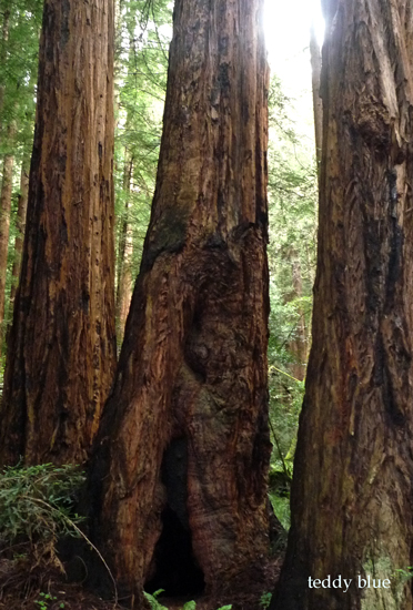 muir woods national monument  ミュアウッズの森_e0253364_15551038.jpg