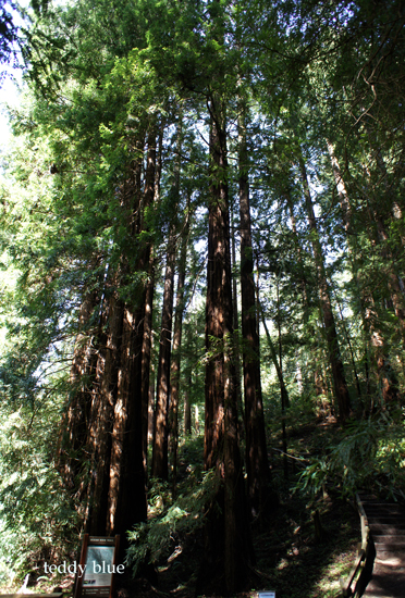 muir woods national monument  ミュアウッズの森_e0253364_1630483.jpg