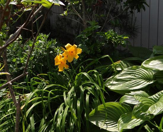 庭で咲く ニッコウキスゲ_a0136293_18101285.jpg
