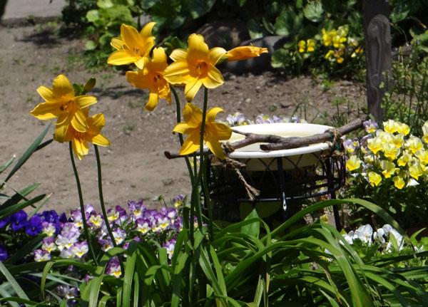 庭で咲く ニッコウキスゲ_a0136293_1843050.jpg