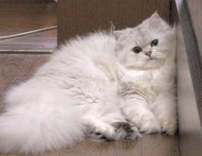 ご縁があるかな~?7か月の白い、チンチラ猫ちゃん~!_d0060693_20112564.jpg