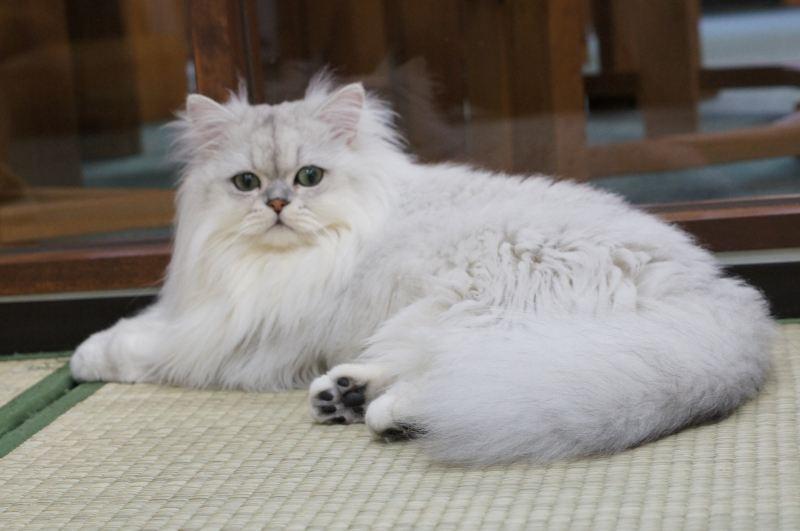 ご縁があるかな~?7か月の白い、チンチラ猫ちゃん~!_d0060693_206986.jpg