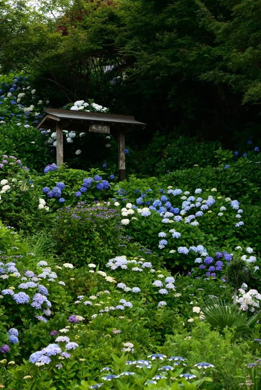 紫陽花寺へ_d0119505_22105412.jpg