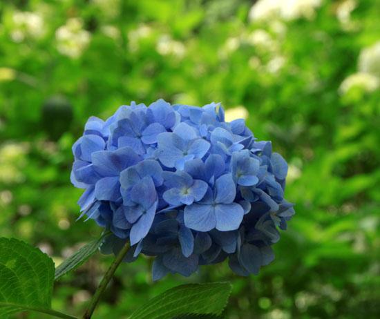 植物園 あじさい園_e0048413_21142076.jpg