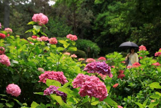 植物園 あじさい園_e0048413_2114312.jpg