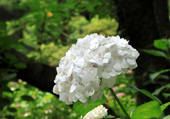 植物園 あじさい園_e0048413_21144259.jpg