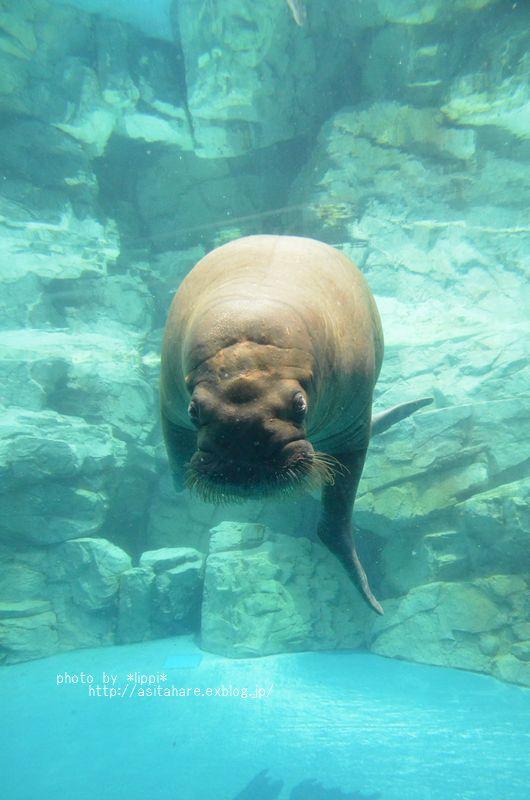 水族館で癒されたい イトヒキアジ_b0024758_064091.jpg