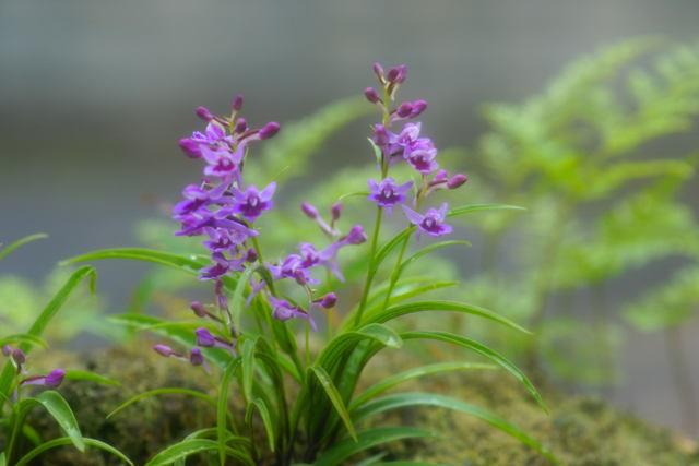 自宅の花(15)ウチョウラン_b0223668_741133.jpg
