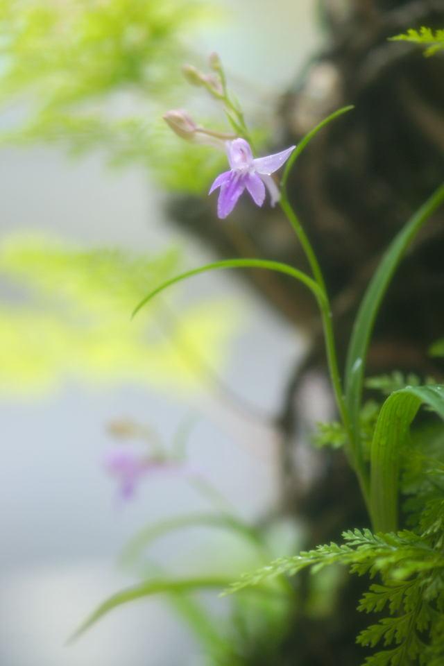 自宅の花(15)ウチョウラン_b0223668_744244.jpg