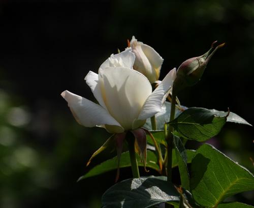 今日もバラの花など~(^^)_a0136293_16265213.jpg