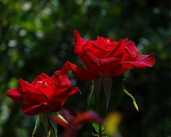 今日もバラの花など~(^^)_a0136293_1628590.jpg