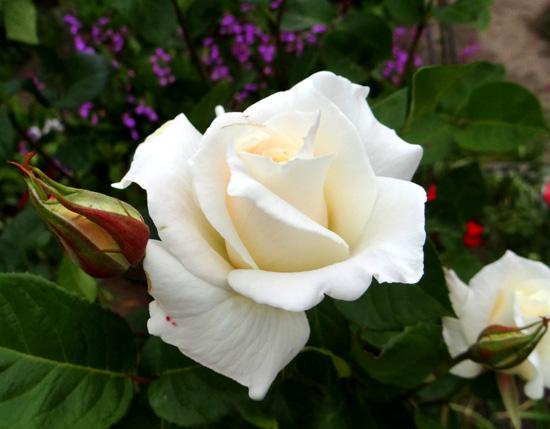 今日もバラの花など~(^^)_a0136293_16304424.jpg