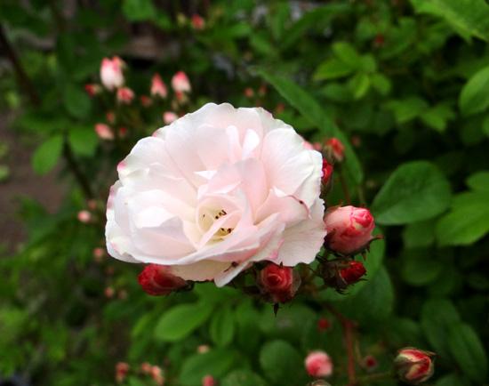 今日もバラの花など~(^^)_a0136293_1630673.jpg
