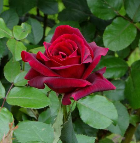 今日もバラの花など~(^^)_a0136293_1631498.jpg