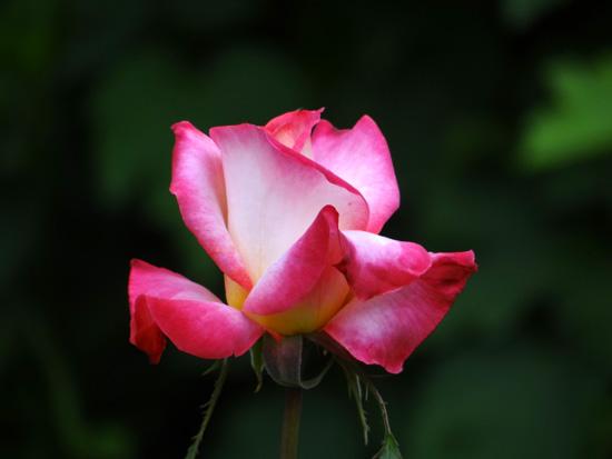 今日もバラの花など~(^^)_a0136293_16324655.jpg