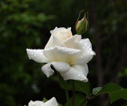 今日もバラの花など~(^^)_a0136293_16335612.jpg