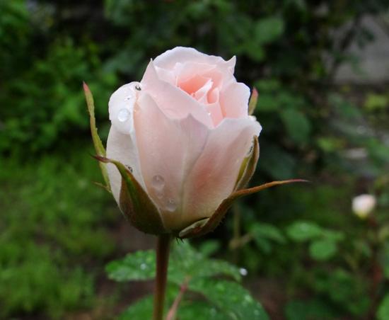 今日もバラの花など~(^^)_a0136293_16341761.jpg