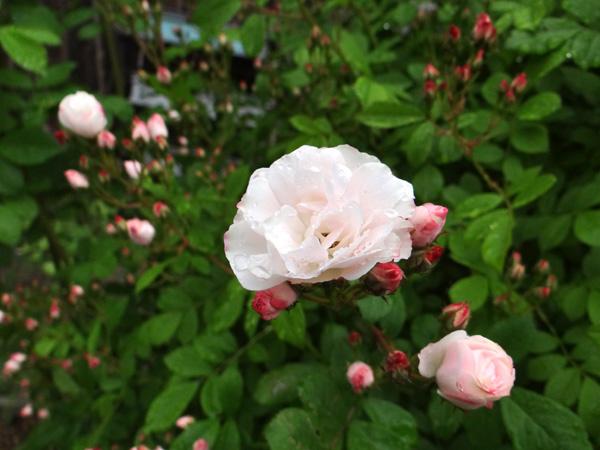 今日もバラの花など~(^^)_a0136293_16344721.jpg