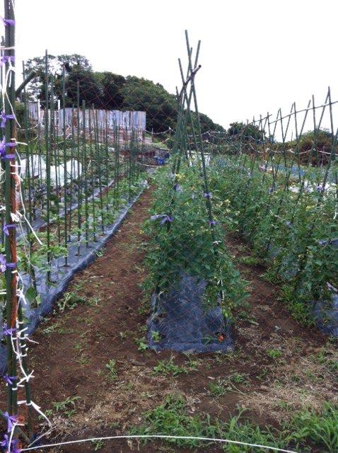 今朝はズッキーニの畝の風通しを、良くします_c0222448_15533319.jpg