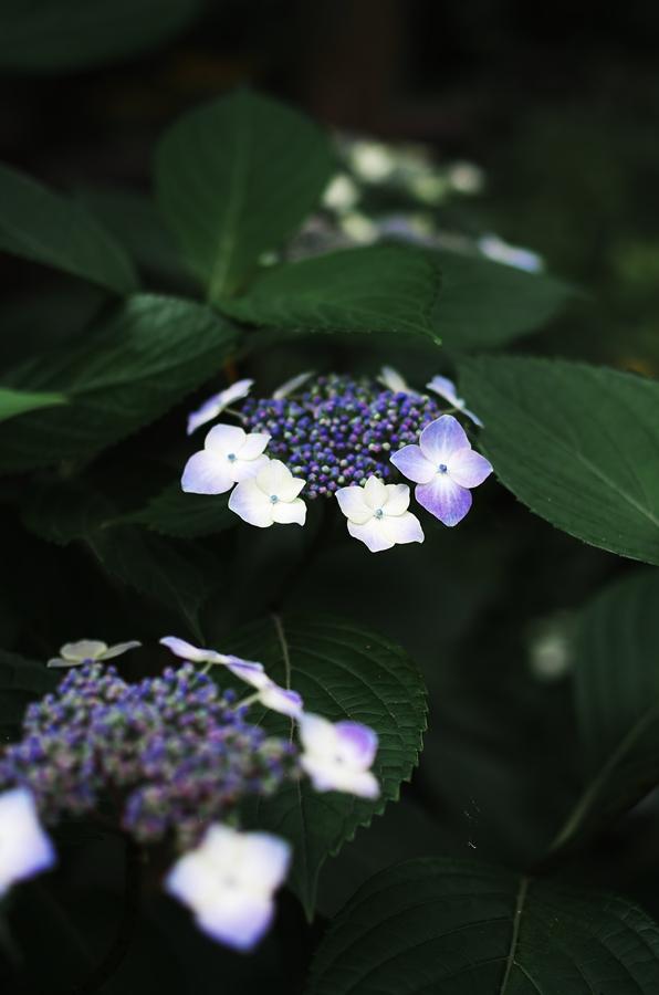 Hydrangea 2012-3_d0147676_22295062.jpg