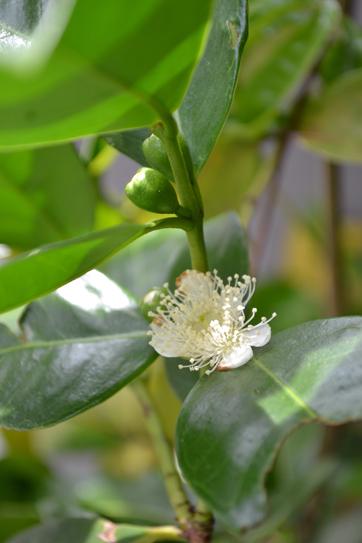イエローストロベリーグァバの花