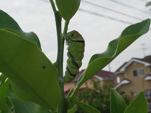 アゲハとツマグロヒョウモンの幼虫_d0254540_3323311.jpg