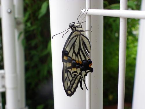 アゲハとツマグロヒョウモンの幼虫_d0254540_3454260.jpg
