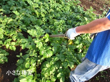 小さな畑で多くの収穫♪キタアカリ_a0243064_7274891.jpg