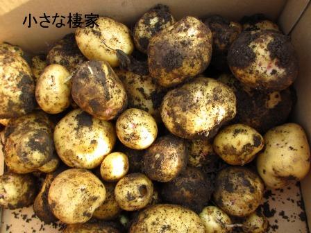 小さな畑で多くの収穫♪キタアカリ_a0243064_729364.jpg