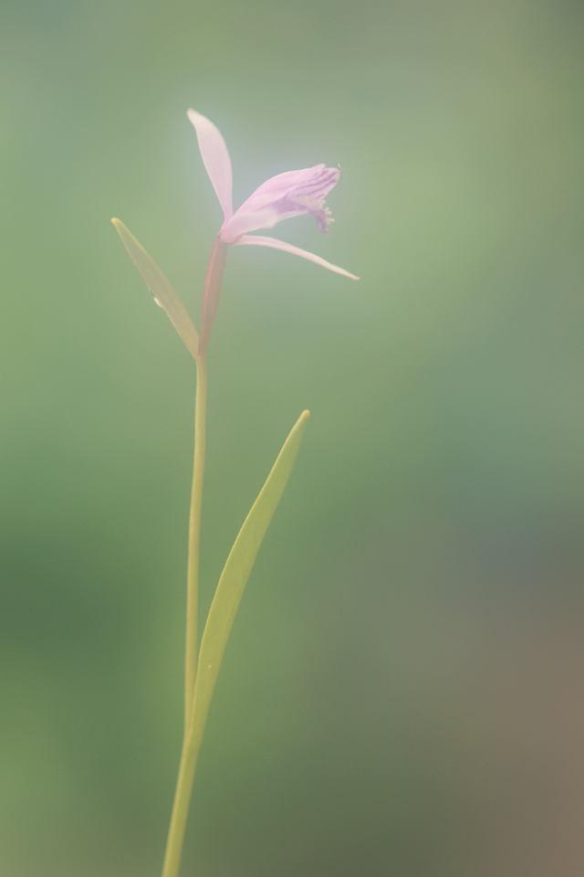 自宅の花(15)ニホントキソウ_b0223668_7102080.jpg