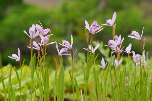 自宅の花(15)ニホントキソウ_b0223668_775777.jpg
