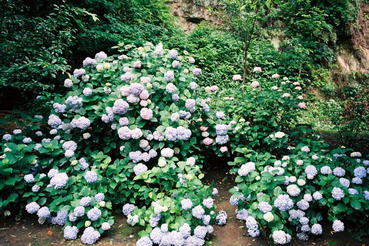 紫陽花ゾンビ_c0195272_195202.jpg