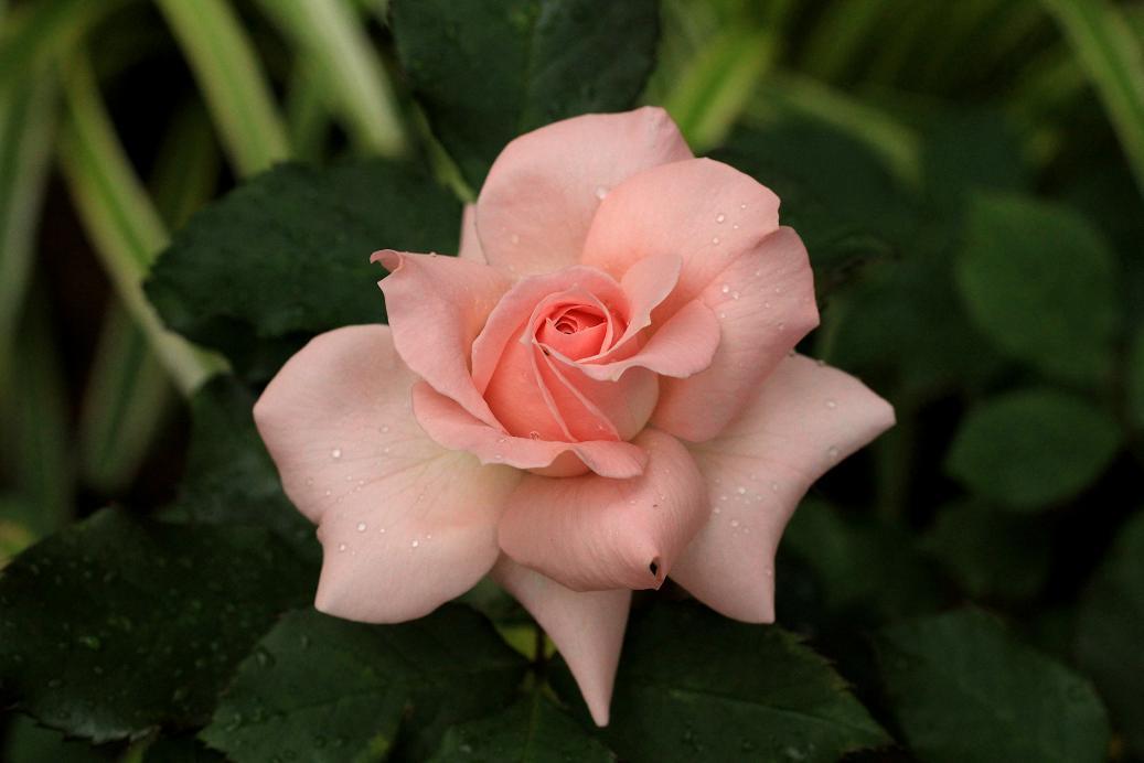 ピンクの薔薇・薔薇・薔薇・薔薇_a0107574_2058222.jpg
