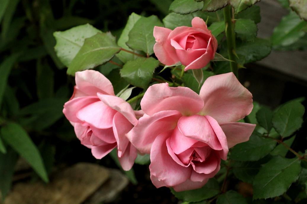 ピンクの薔薇・薔薇・薔薇・薔薇_a0107574_20584561.jpg