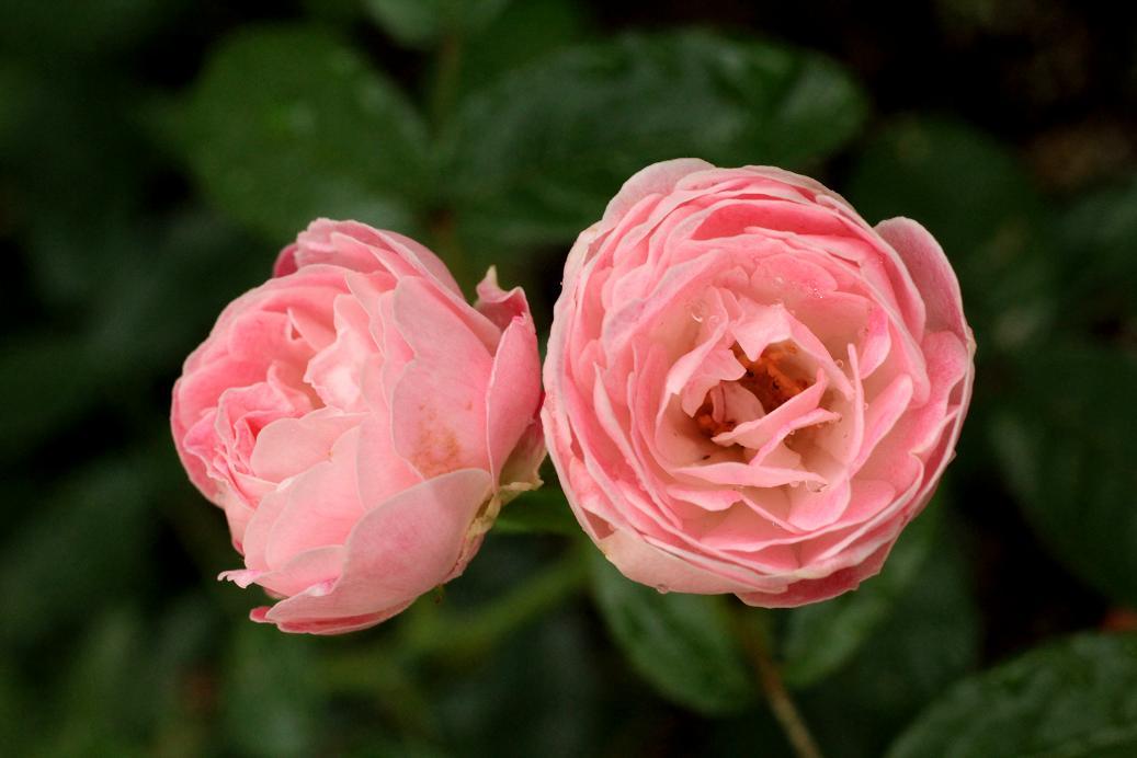 ピンクの薔薇・薔薇・薔薇・薔薇_a0107574_20593827.jpg