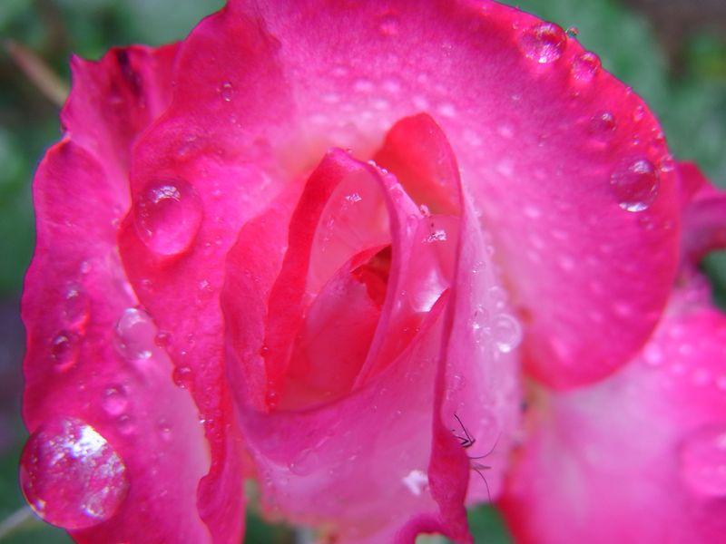 雨中のバラ_c0025115_2031069.jpg