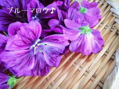 ブルーマロウの収穫_e0254750_17582786.jpg
